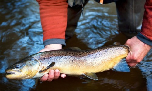Brule River Brown